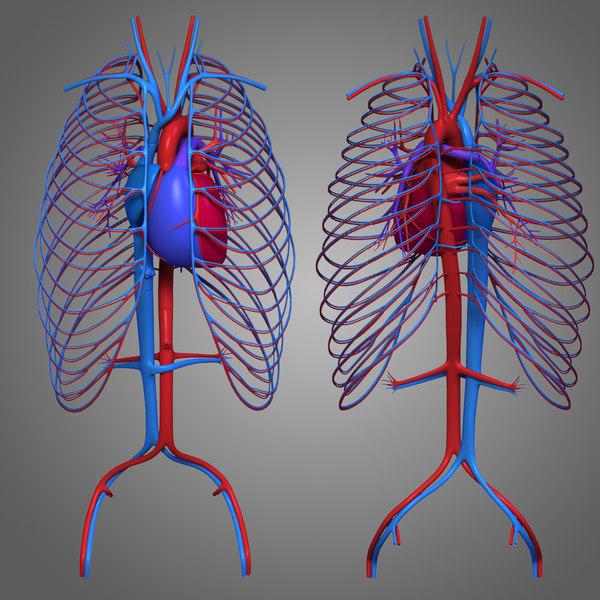 human female body anatomy max