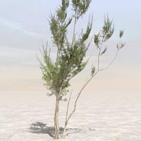 Afghanistan Tree 03