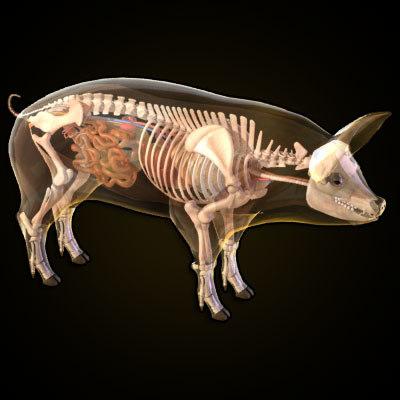 pig_anatomy_1.jpg