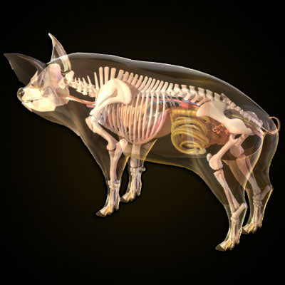 pig anatomy heart 3d model