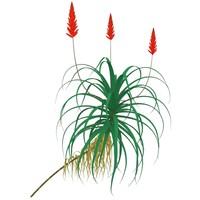 3dsmax krantz aloe plants arborescens