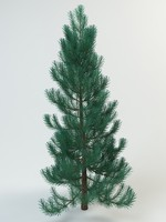 fir abies pine