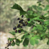 blackberry plants rubus 3d model