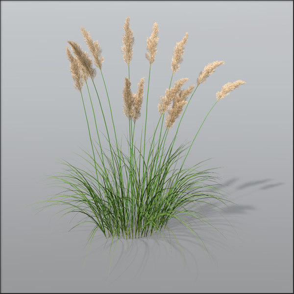 3d pampas grass cortaderia model. Black Bedroom Furniture Sets. Home Design Ideas