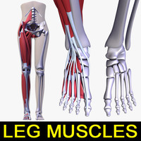 3d human leg muscles female body model