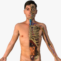 3d male anatomy model