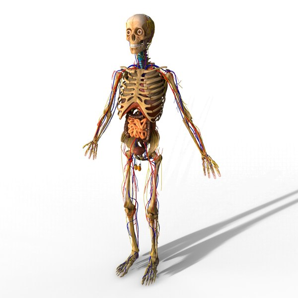 Live anatomy model 5033973 - follow4more.info