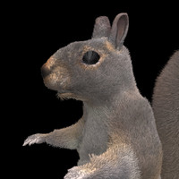 3d furry squirrel model
