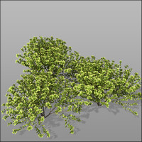 3d euonymus shrubs hedge model