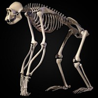 chimpanzee skeleton 3ds