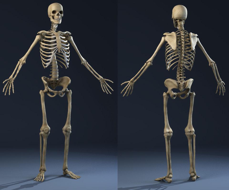 Skeleton anatomy model