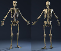 3d realistic skeleton anatomy male man model