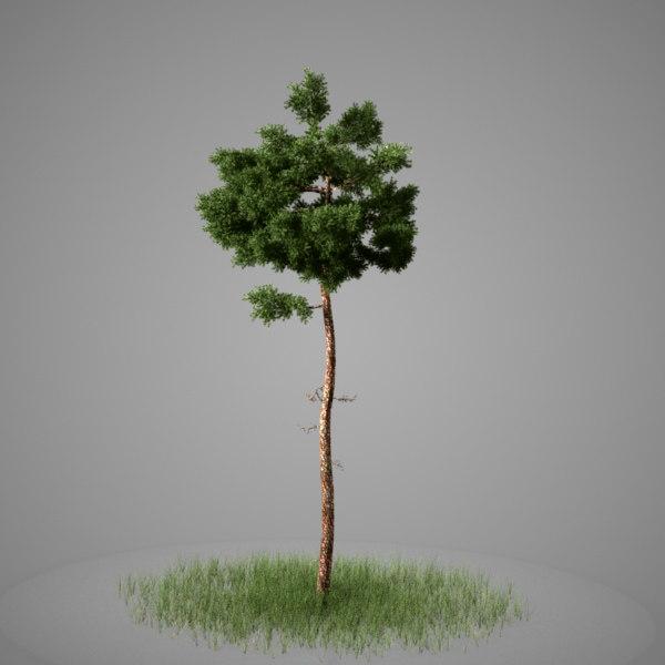 Conifer03.jpg
