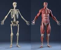Male Anatomy(muscles and skeleton)