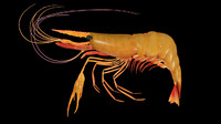 3d prawn shrimp model