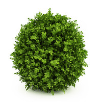 Dwarf English Boxwood (Suffruticosa Buxus sempervirens)