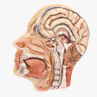 Human Head Lateral Slice