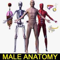 3d human male body anatomy model