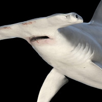 3d great hammerhead shark