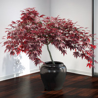 VP Japanese Maple