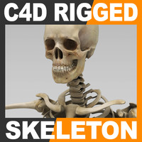 human skeleton rigged skull cranium 3d model