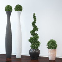 VP Boxwood Trees