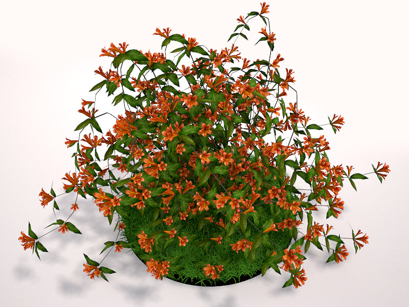 Tangerine Beauty Crossvine_2.jpg