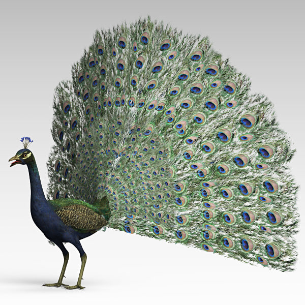 Peacock_h_01.jpg