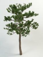 pine pinus 3d max