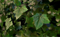 Ivy Wall - Low Poly