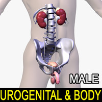 human male body urogenital 3d model