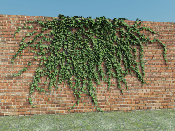 maya ivy plant - Ivy collection... by displace