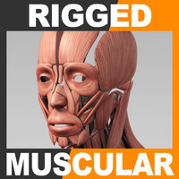 3d rigged human muscular muscles model