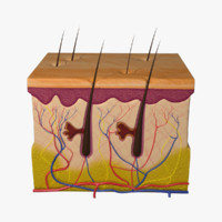 3d human skin anatomy