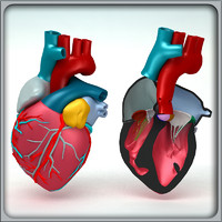 3ds max human heart anatomy