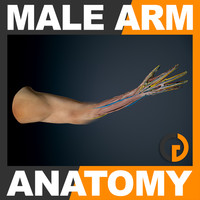 maya human male arm anatomy
