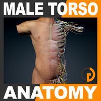 human male torso anatomy muscles 3d model
