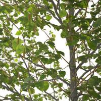 c4d corylus tree young hazel