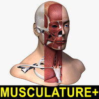 head anatomy skeleton musculature 3ds