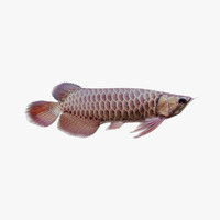 tropical fish aquarium arowana 3d max