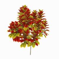 max codiaeum variegatum trees