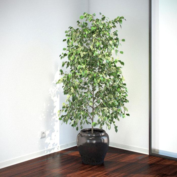 VP-Ficus-Benjamina-feature.jpg