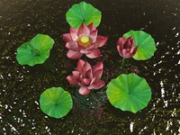 nelumbo flower max