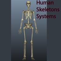 human skeleton 3d x