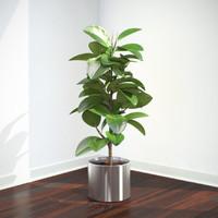 plant ficus elastica 3d max