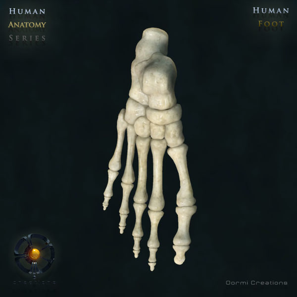 3d human foot bones model - Foot bones... by oormicreations