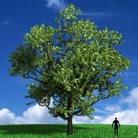 3d tree acer negundo