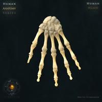 human hand bones 3d model