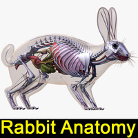 rabbit anatomy 3d model