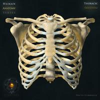 human thoracic skeleton bones max